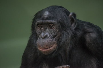 Portrait of funny and emotional Bonobo, close up