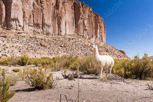 Fototapete White llama pasturing Bolivia mountain cliff valley.