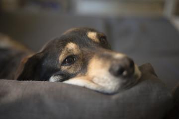 Cão pousa cabeça sobre o sofá
