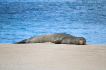 Hawaiian monk seal in Kaena Point State Park, Oahu, Hawaii
