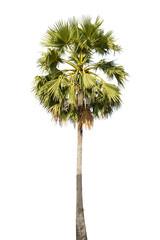 Sugar palm tree isolated on white background