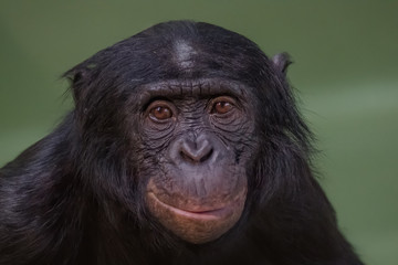Portrait of funny and smiling Bonobo, close up
