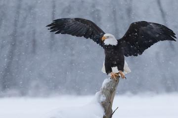 Garden Poster Eagle Snowy Eagle