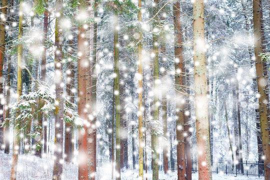 Winter wonderland with fir trees.