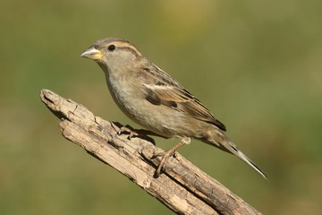 Fotoväggar - House Sparrow (Passer domesticus)