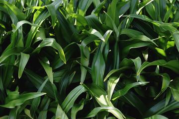 Big leaf background