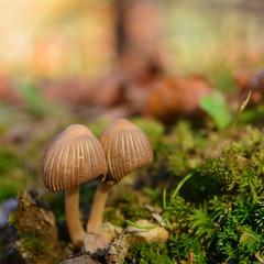 parasola auricoma mushroom