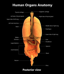 Human Organs Anatomy with Detailed Labels (Posterior View)