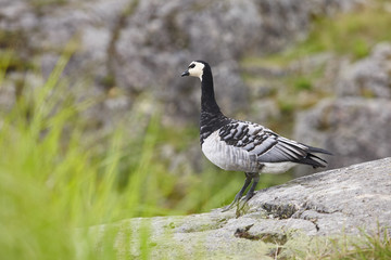 Barnacle goose (Branta leucopsis). Bird watching in Finland. Wildlife