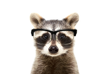 Portrait of a cute funny raccoon wearing glasses, isolated on a white background