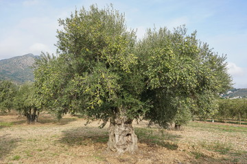 An olive tree with fruits in a field in Spain, Mediterranean, Roses, Girona, Catalonia, Alt Emporda