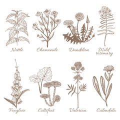 Set of Medicinal Plants. Collection in Hand Drawn Style. Vector Illustration of Nettle Chamomile Dandelion Wild Rosemary Foxglove Coltsfoot Valerian Calendula