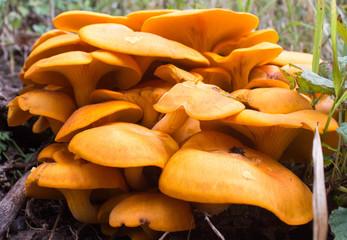 Orangish Yellow Fungus Mushrooms