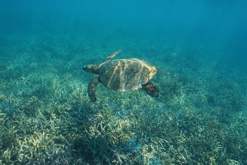 South Pacific ocean underwater a hawksbill sea turtle Eretmochelys imbricata, swims over a coral reef, New Caledonia, Oceania