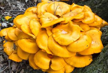 Orange Fungus near Tree