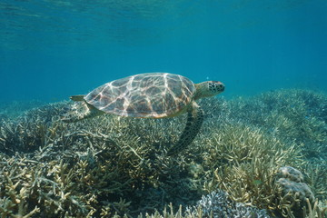 Underwater a green sea turtle Chelonia mydas, swims over a coral reef, New Caledonia, south Pacific ocean, Oceania