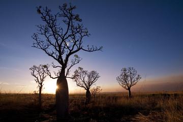 Silhoutte of Boab trees (Adansonia gregorii) at sunset, Near Kununurra, Western Australia, Australia