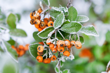 Close-Up of berries growing on tree during winter