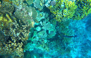 coral reef in the red sea