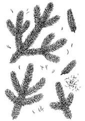 Pine branch illustration, drawing, engraving, ink, line art, vector