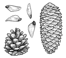 Pine cone illustration, drawing, engraving, ink, line art, vector