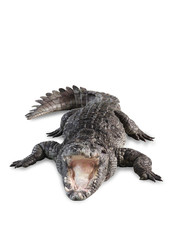 Freshwater crocodile isolated with clipping path.