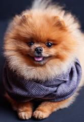Pomeranian dog in scarf on dark background. Portrait of a dog in a low key.