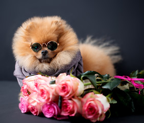 Pomeranian dog in glasses and scarf with purple roses on dark background. Portrait of a dog in a low key. Dog with flowers