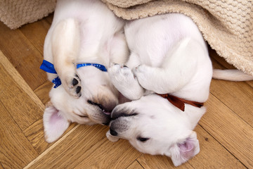 Two labrador puppies sleeping on the parquet floor under the bed