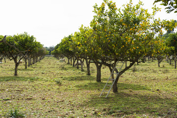 Lemon trees (Citrus × limon) bearing ripe lemons, near Lloseta, Mallorca, Spain
