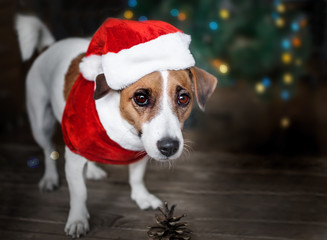 A small dog jack russel terrier dressed in a Santa Claus suit standing near the Christmas tree and looking with curiosity into the camera. Merry Christmas. Happy New Year
