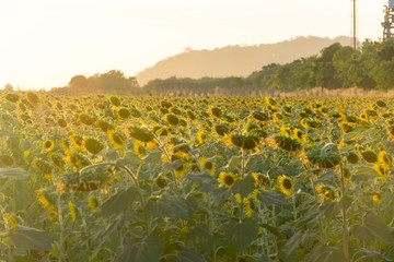 sunflower withered field evening background is mountain.