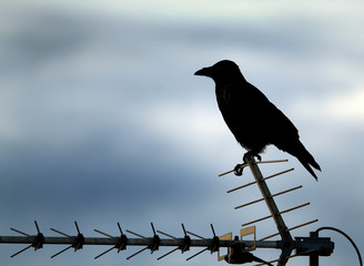 Crow sitting on television aerial.