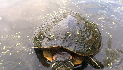 Closeup of curious turtle, Central-Park pond