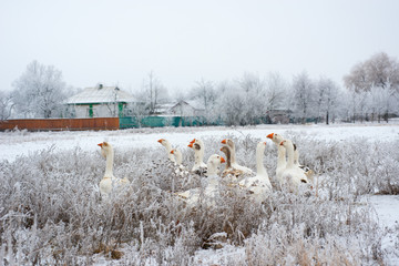 Geese in the winter in the village..