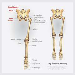 Human Anatomy Leg Bones Vector Illustration