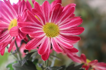 Closeup of Chrysanthemum with copy space with a blurred background.