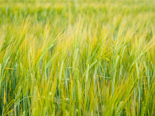 Present, beautiful wheat field on a windy, summer day