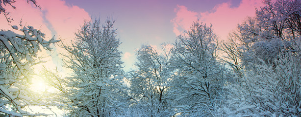 Trees with snow in winter forest.Winter forest in a rays of sun.