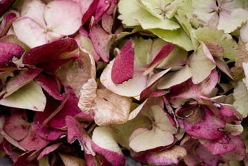 background: garland or wreath made of Hydrangea flowers (ortensia), very colorful because they are picked fresh in autumn (green, pink, blue, beige), Autumn, Italy