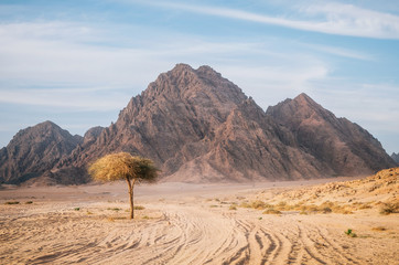 Tree in Sinai desert with rocky hills and mountains against sunset sky, Egypt. Life in desert concept