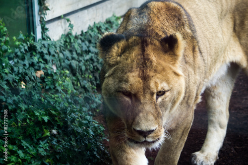 Shot Of Lion At Herberstein Zoo In Austria Through Glass Panel And