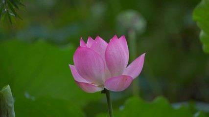 Search photos 4k landscape attraction pond blooms single day 015 beautiful lotus flower blooms in the pond china mightylinksfo