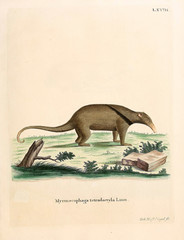Illustration of Anteater.
