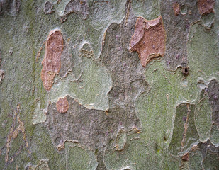 Close up texture of bark of Platanus tree