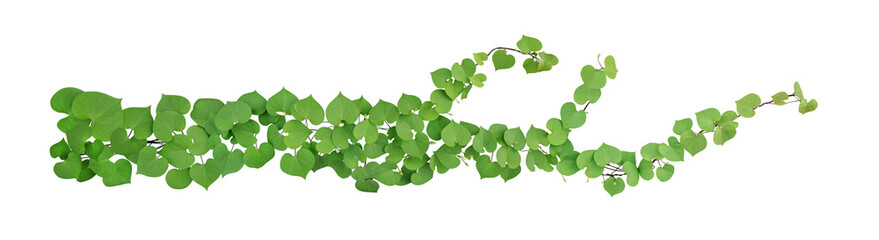 Stores à enrouleur Vegetal Heart shaped green leaves with bud flower climbing vines tropical plant isolated on white background, clipping path included