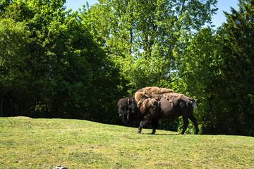 Buffalo bull walking on a green meadow