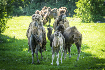 Group of camels on a green field in the spring