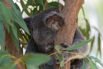 Kopf eines schlafenden Koala