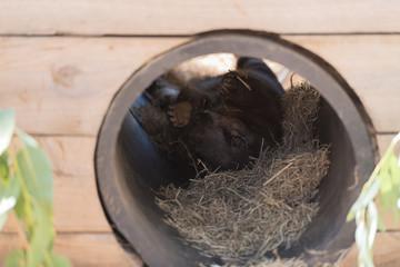 Wombat liegt auf dem Rücken und putzt sich